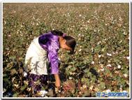 綿花畑にて