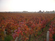 Clos_de_vougeot_vineyard