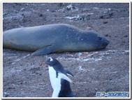 南極のペンギンその3