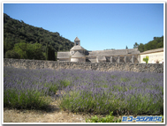 Abbey_senanques_lavender