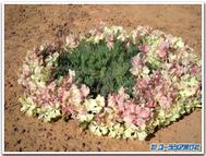 Wreathlechenaultia