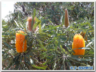 Orange_banksia