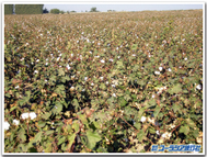 Cotton_field