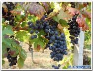 Piemonte_vineyard