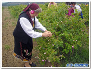 Rose_picking