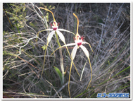 Spiderorchid