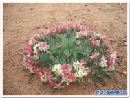 Wreathleschenaultia