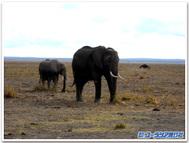 Amboselielephant
