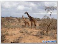 Amboseligiraff