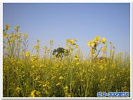 Mustard_2