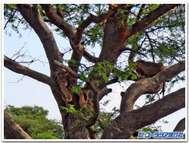 ウガンダの木登りライオン