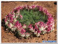 Wreath_lechenaultia_3