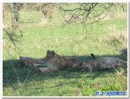 Lion_2