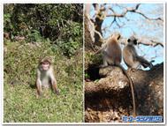 スリランカの猿