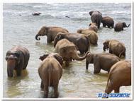 ピンナウェラ象孤児院の象たち