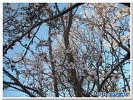 Almondtree2