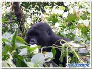 Gorira