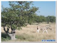 ナミビア、エトーシャ国立公園で出会ったシマウマ