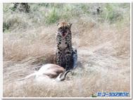 ナミビア、エトーシャ国立公園で出会った若いチーター!