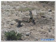 ナミビア、エトーシャ国立公園で出会った地リス
