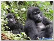 ウガンダ、ゴリラトレックで出会ったゴリラの母子