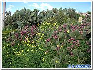 マルタの野花とサボテン