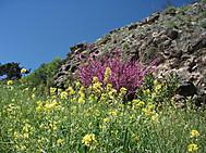 4月のギリシャ、ハナズオウと菜の花