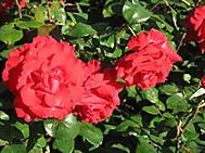 6月、ロンドンのクイーン・メアリー庭園には薔薇が咲き乱れる