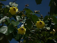 Hibiscus_tiliaceus_flower_of_ogasaw