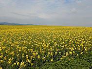 一面に広がる菜の花畑
