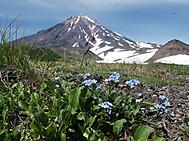 ユーラシア旅行社のカムチャツカツアー:アバチンスキー火山(標高2741m)フラワーハイキングより