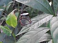 羽が透明に進化した蝶