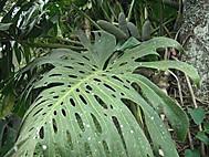 葉に穴のあいたモンテスラ