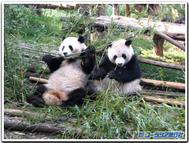 Panda_pair