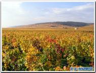 黄金に染まるブルゴーニュのワイン畑