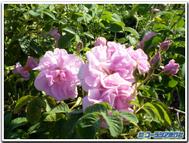 Bulgaria_rose