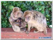 Gibraltar_monkeys