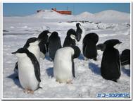 Gentoo_penguin