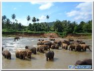 Pinnawala_elephants