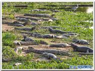 Pantanal_crocodiles
