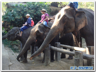 Thai_elephants