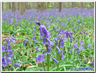 Bluebell_zoom