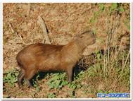 Capibara1