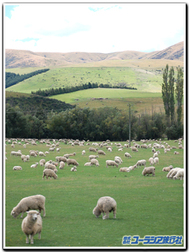 Nz_sheep2