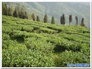 Darjeeling_field