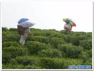 Darjeeling_field2