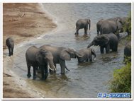 Chobe_elephants