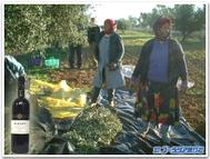 Tunisia_olives