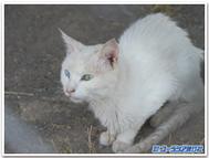 Van_cat