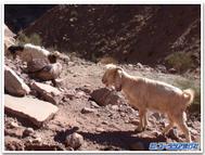 Petra_goat